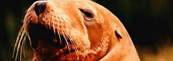 sea lion (via www.friscovista.com)