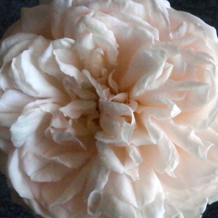 Grüss an Aachen flower