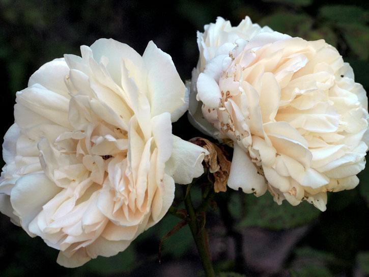 Gruss-an-Aachen roses