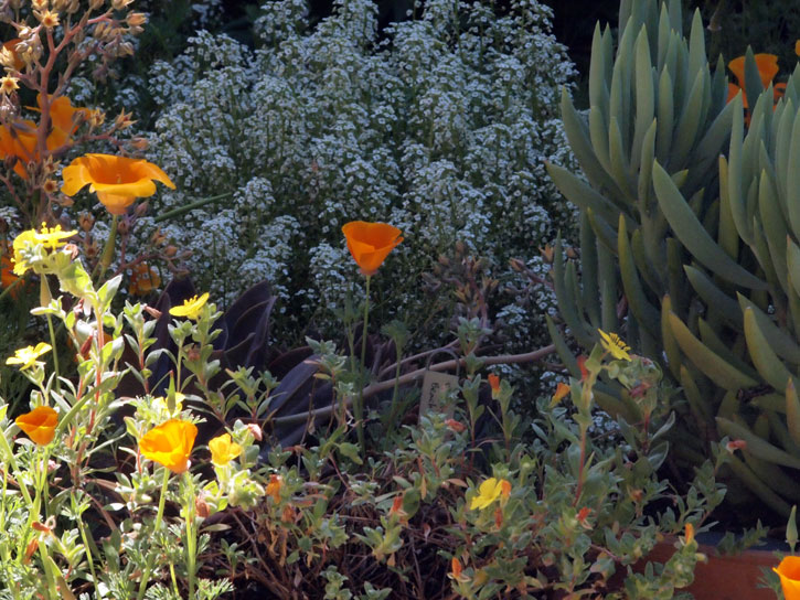 May Day garden detail: California poppies, sweet alyssum, camissonia cheirauthifolia (Beach Primrose), senicio talinoides ssp azoides (large kleina)