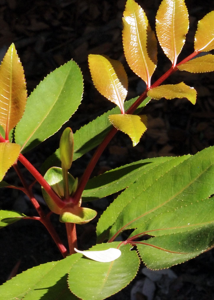 Cunonia capensis, Butterknife Bush