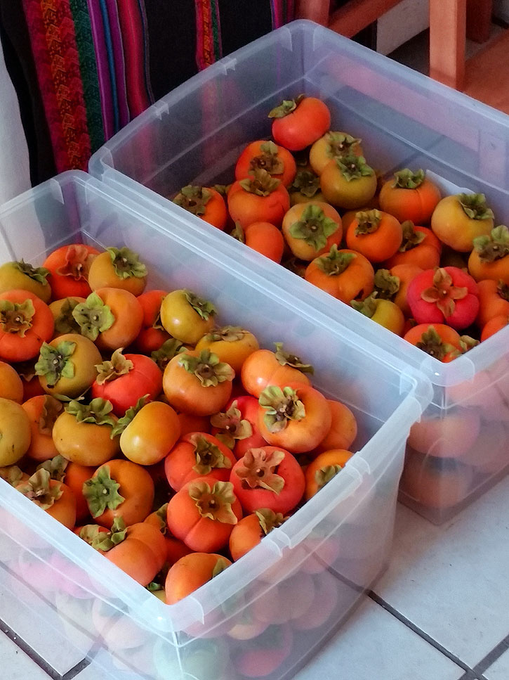 Harvested persimmons.