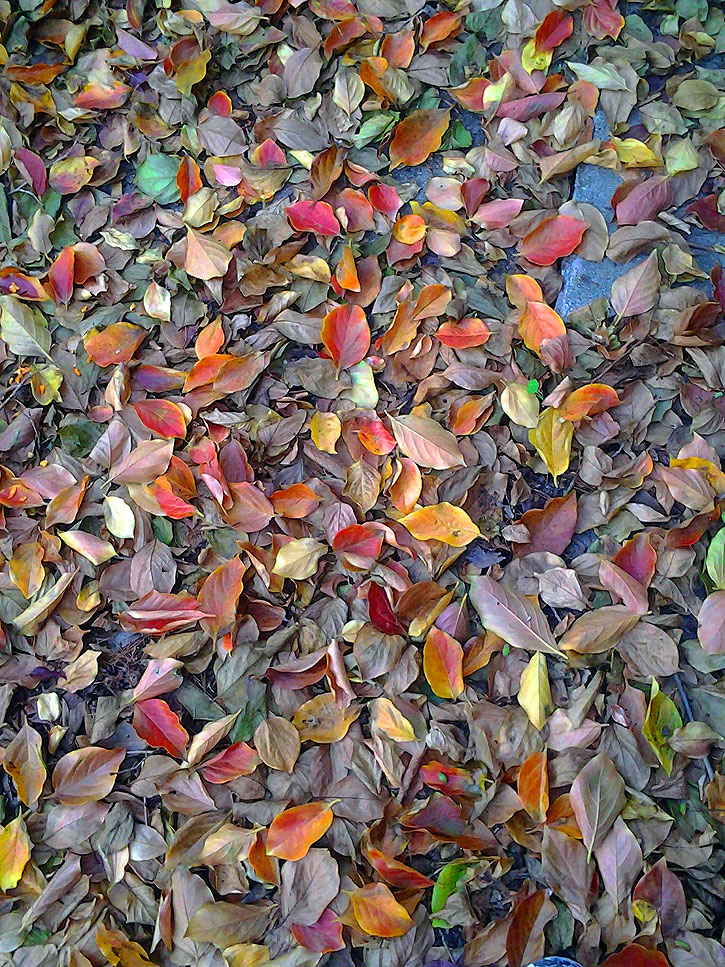 Fallen persimmon leaves.