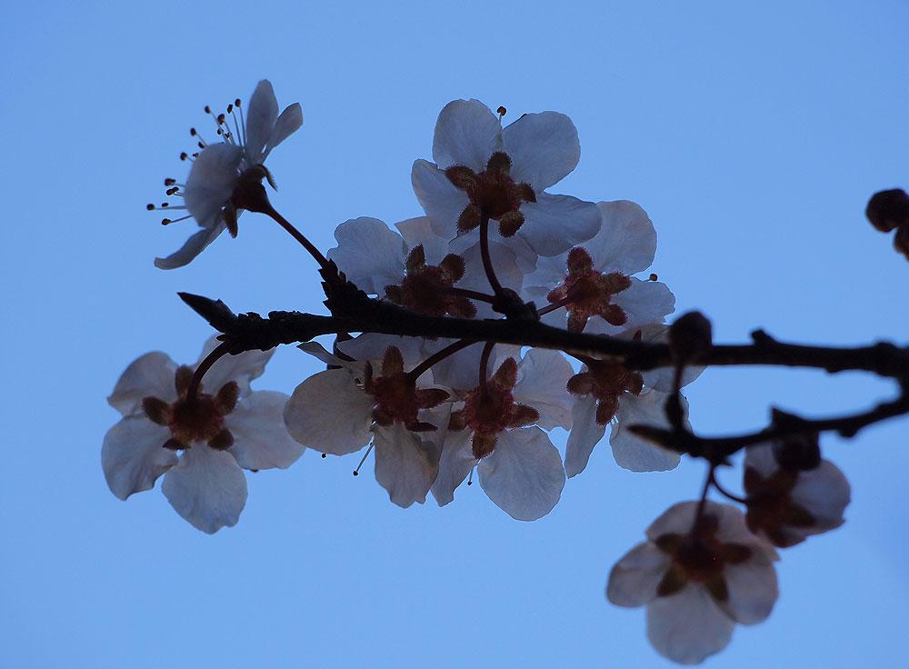 Ornamental plub blossoms.