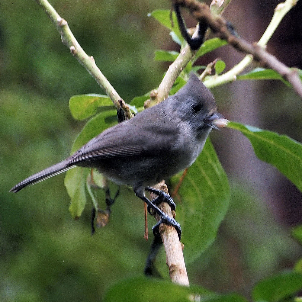 Plain Titmouse.