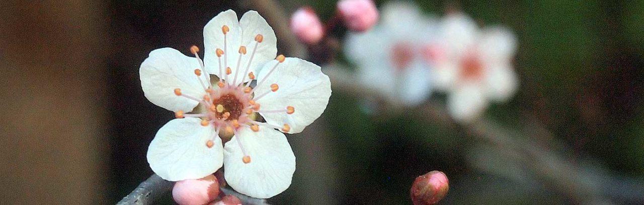 Crabapple blossoms.
