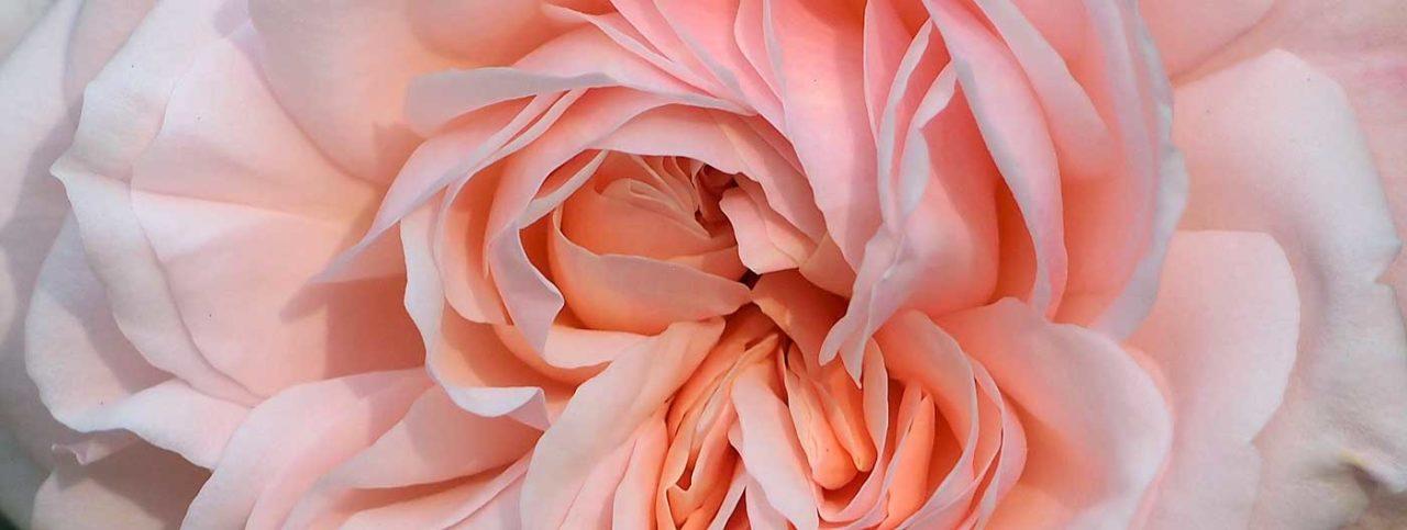Detail of Grüss an Aachen Rose flower.