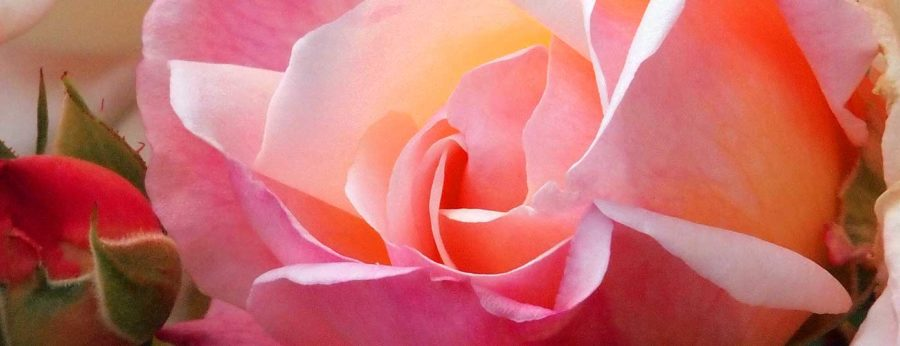 Gruss an Aachen rose flower detail.