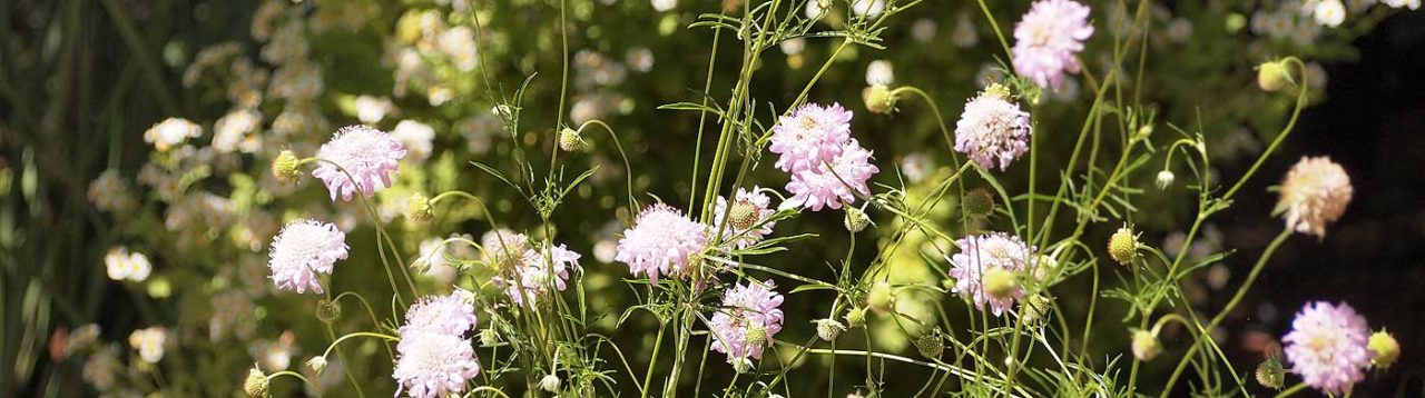 Scabiosa anthemifolia detail.