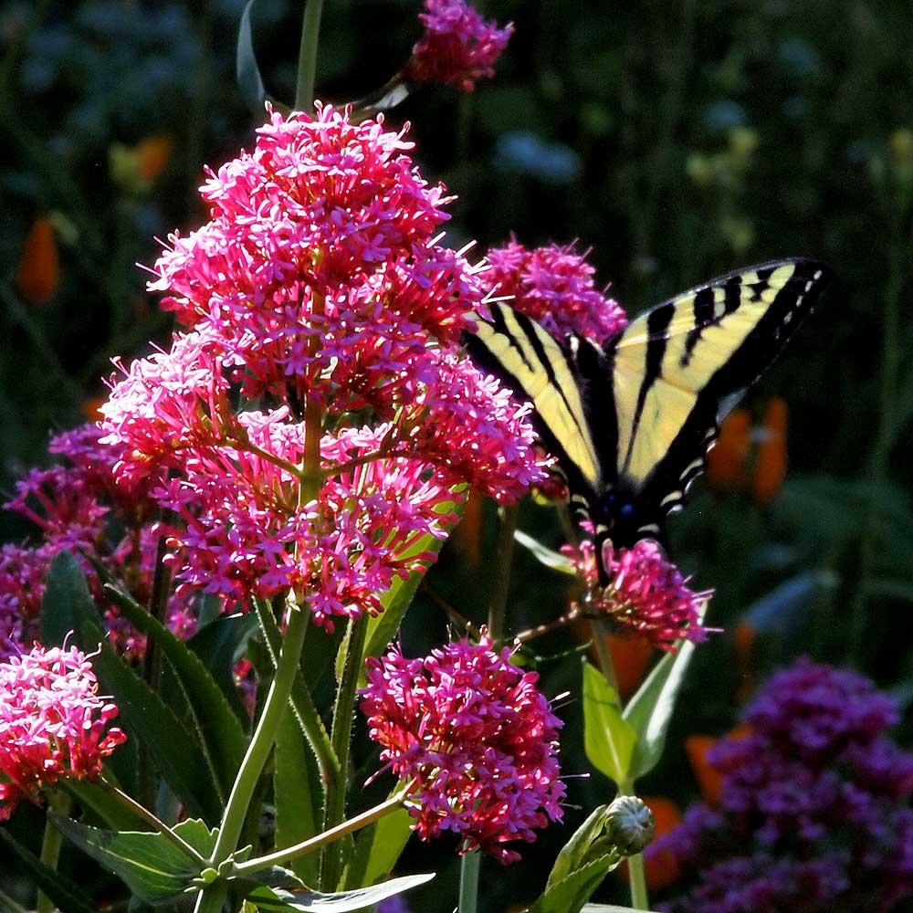 Western Tiger Swallowtail Butterfly on Jupiter's Beard flower.