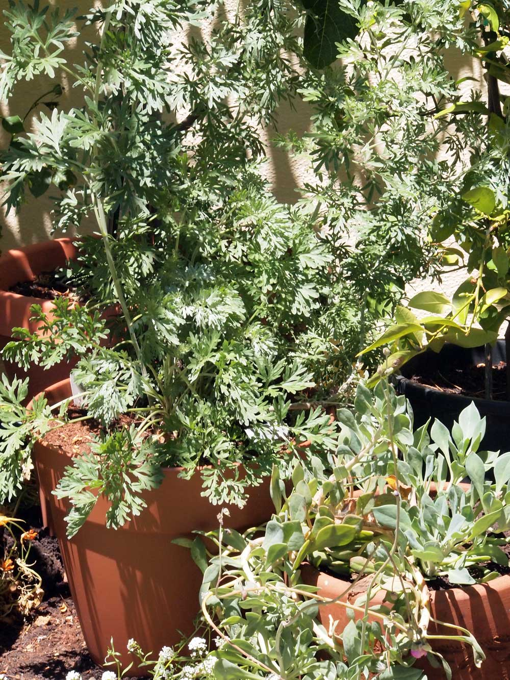 South-facing wall. Front l-r: <em>Artemisia absinthium</em> (wormwood), <em>Calendrinia spectabilis</em>. Back l-r: White Genoa Fig, Persian Lime.