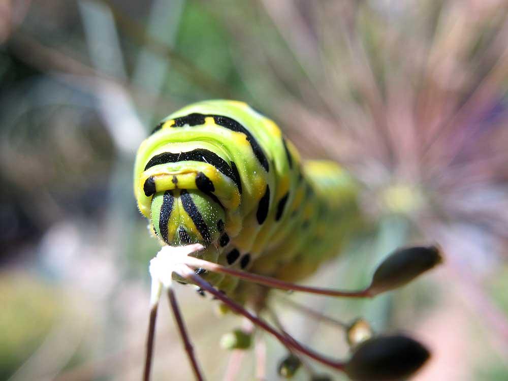 Swallowtail caterpillar.