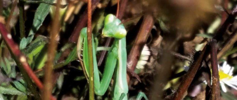 European Mantis