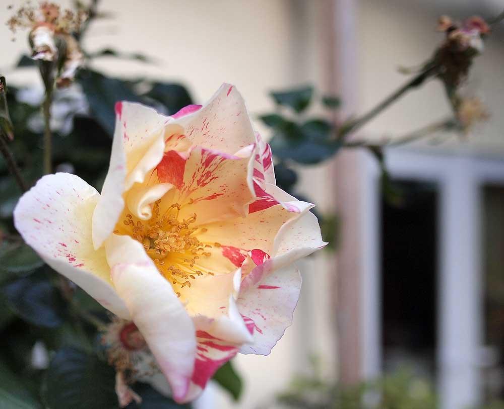 Citrus Burst rose