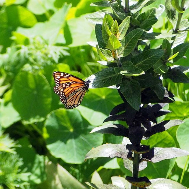 Monarch butterfly on native asclepias (milkweed) plant .