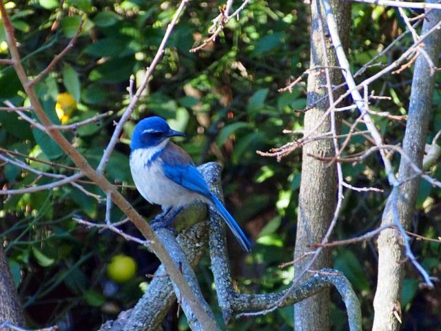 Scrub Jay on persimmon tree.
