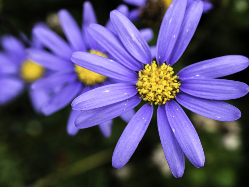 Close-up of flower of Blue Marguerite, Felicia amelloides.