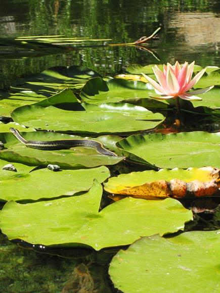 water lily and snake at University of California Botanical Garden at Berkeley