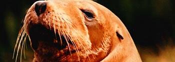 sea lion (via www.friscovista.com)