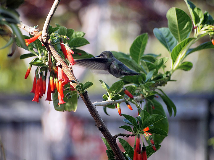 hummingbird in iochroma