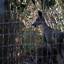 flummoxed deer