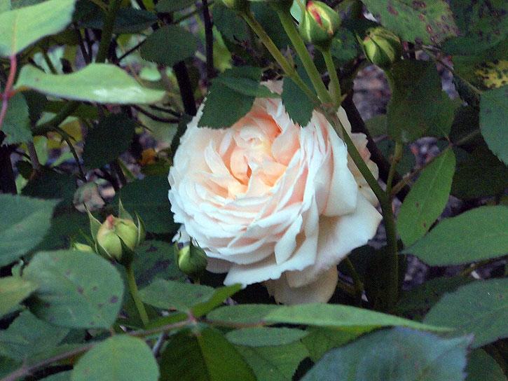 Gruss-an-Aachen rose