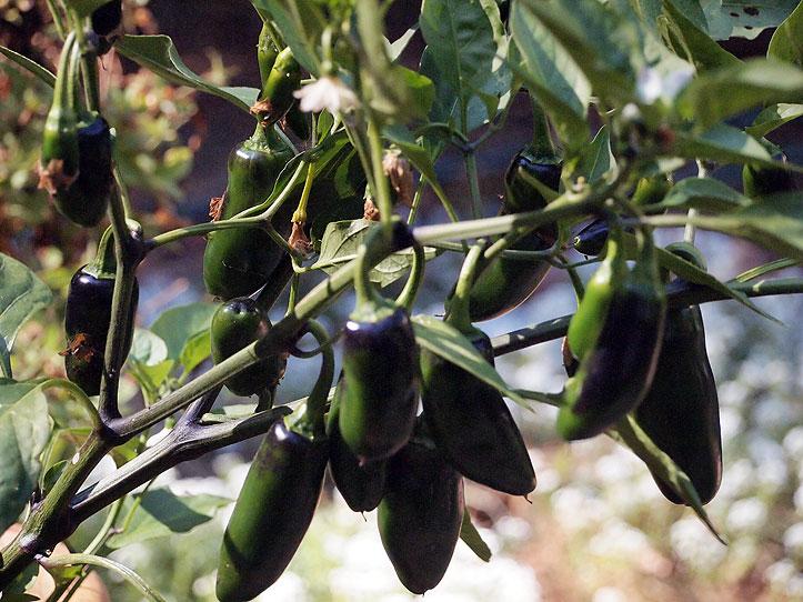Jalapeño peppers at Tom's Garden.