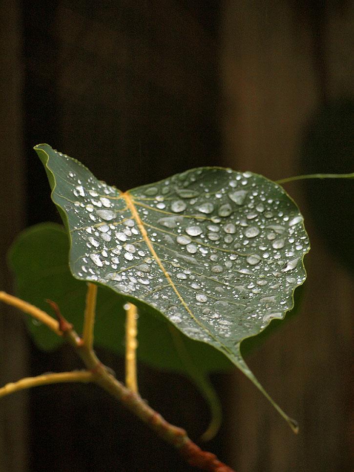 Raindrops on Ficus religiosa (Buddha Tree) leaf.