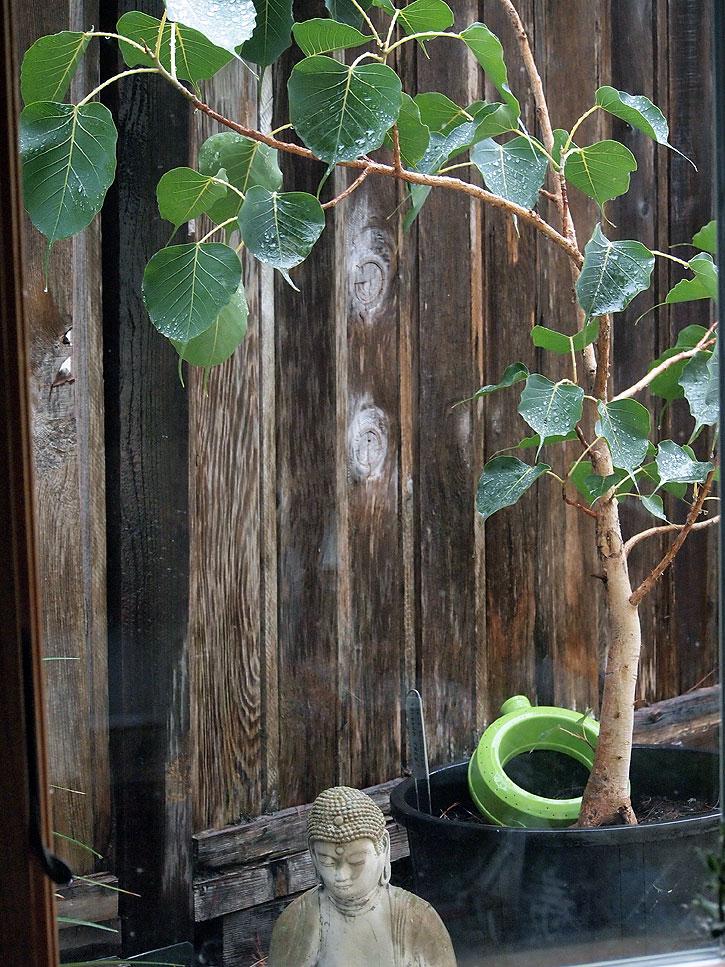 Ficus religiosa in container.