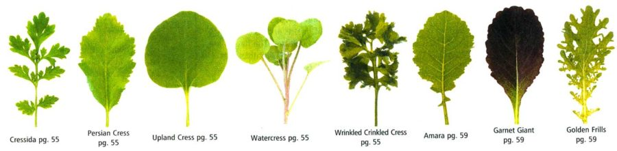 Detail of illustration of salad greens from Johnny's catalogue.