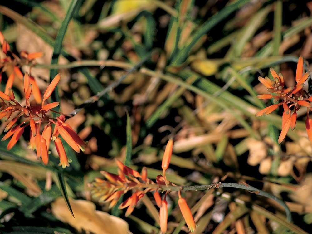 Johnson's Hybrid Aloe.