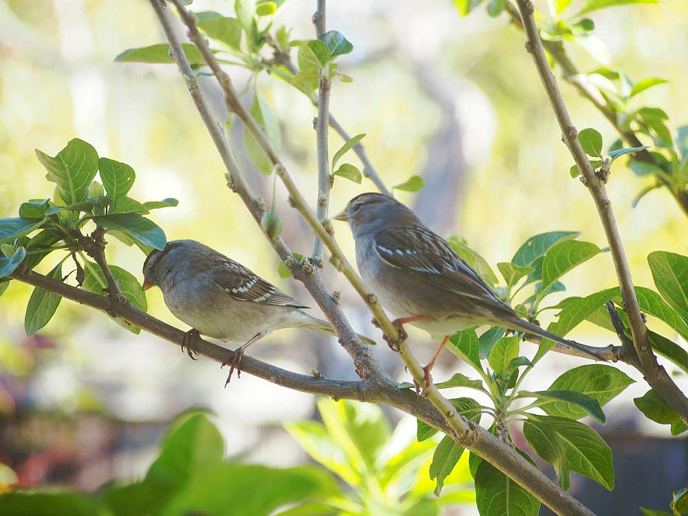 White-Crowned Sparrows.